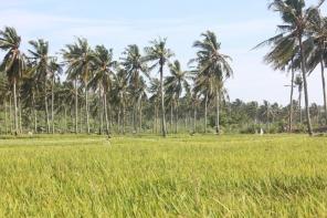 Rice field near Andra Homestay